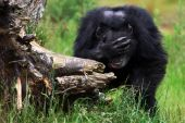 Shy Chimpanzee with one hand in front of his eyes behind a tree stump poster