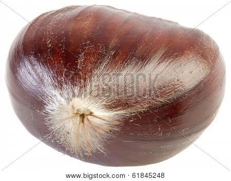Chestnut Castanea Sativa Isolated on White Background