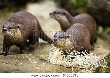 Cute otters - Eurasian otter (Lutra lutra)