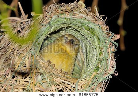 Female Southern Masked Weaver In Nest