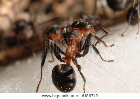 Hill Ant  (formica Rufa)
