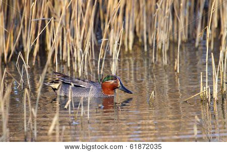 Eurasian (or common) teal duck in the pond