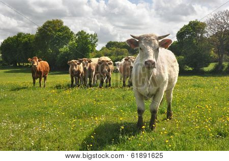 Curious Charolais cow with other cows in the background