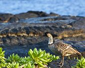 The Nene is Hawaii's state bird and is a federally protected species. poster