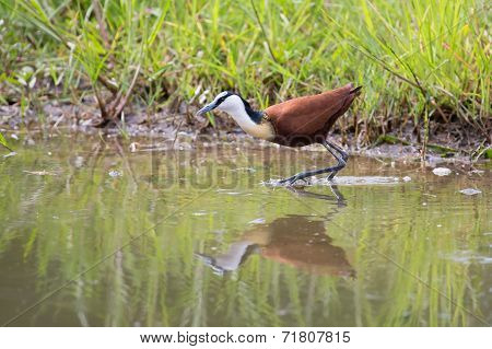Frican Jacana Plod Along On Water Plants Chasing Small Insects
