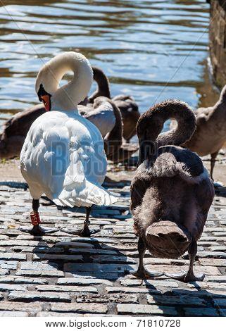 Beautiful Swan Familiy With Nestlings In Lake