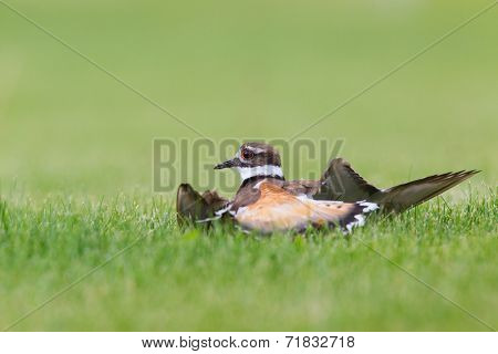 Killdeer doing its broken wing act to fool predators  away from its nest and young.