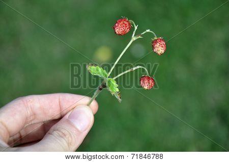 Small Wild Strawberries