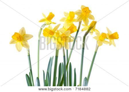 High Key Daffodils