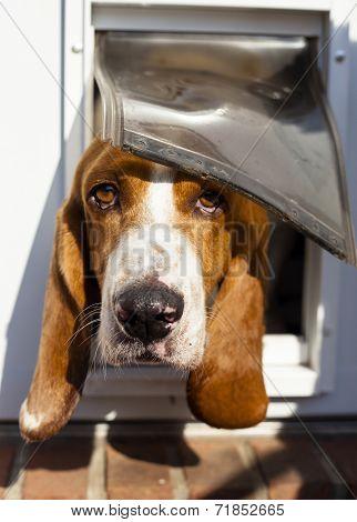 curious Basset hound peeking out from pet door