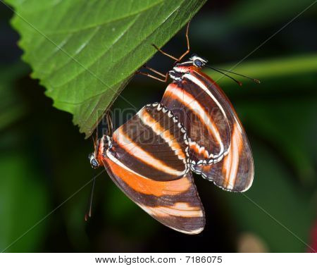 Two Banded Orange butterflies mating under a leaf poster