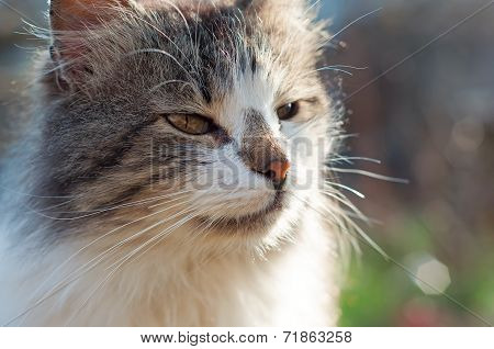 poster of Rural Fluffy Cute Cat muzzle. Close up.