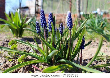 Some Beautiful Blue Flowers Of Muscari