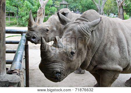 The Beautiful Rhino in Thailand zoo,  Rhino taking a snap