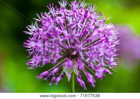 Blooming Ornamental Onion (allium)