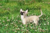 Chihuahua puppy on green lawn among white clover flowers looking up poster