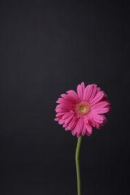 rosa Gänseblümchen