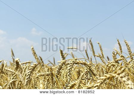 cornfield with wheat