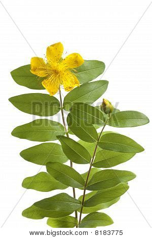 St John's wort flower and bud isolated on white background poster