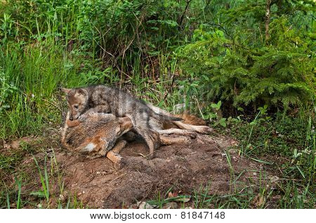 Coyote Pup (canis Latrans) Crawls Over Adult
