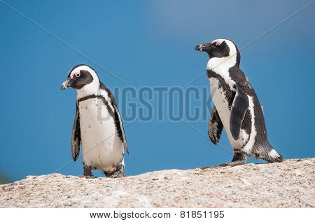 African Penguins, Also Known As Jackass Penguins Or Black-footed Penguin