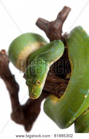 Green tree python, chondros isolated on  white