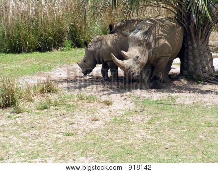 Rhinoceri