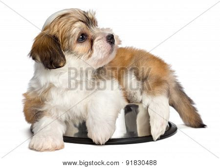 Cute Hungry Havanese Puppy Dog Is Lying On A Metal Food Bowl