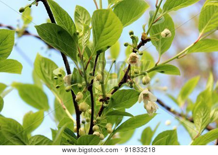 Flowers Of Schisandra