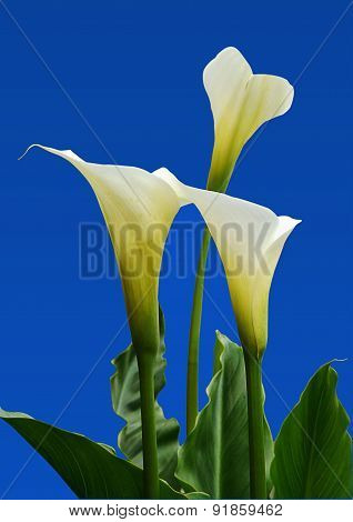 Arum Lily Group Of Three