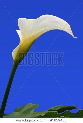 Single Arum Lily With Leaves