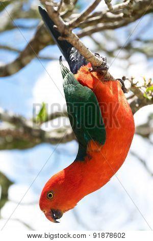Australian King Parrot Hanging Down