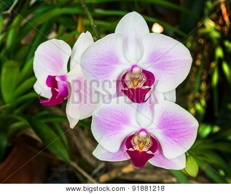 Closeup Of Pink Orchid Phalaenopsis.