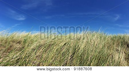 Marram grass in front of bright blue sky