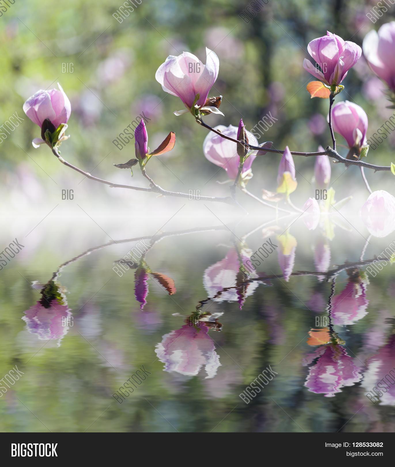 Bloomy magnolia tree image photo free trial bigstock bloomy magnolia tree with big pink flowers reflected in water mightylinksfo