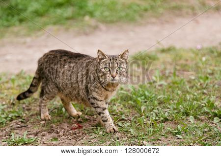 Beautiful multicolor cat walking in the field and looking at camera in summer