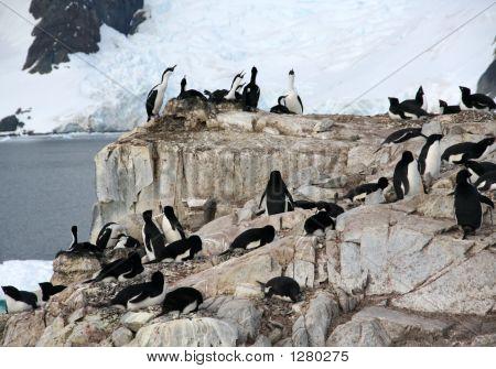 Cormorants Co Habiting With Gentoo Penguins