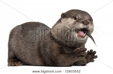 Oriental small-clawed otter, Amblonyx Cinereus, 5 years old, eating fish in front of white background