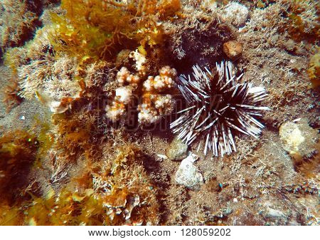 Sea urchin and coral reef, sea life background, sea urchin discovered during a sea dive, Philippines