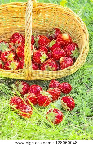 Overturned basket with red ripe strawberries in the summer green grass in evening sunlight