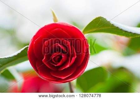 Pink Red Roses Outdoors In A Garden