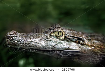 Headshot of crocodile swimming