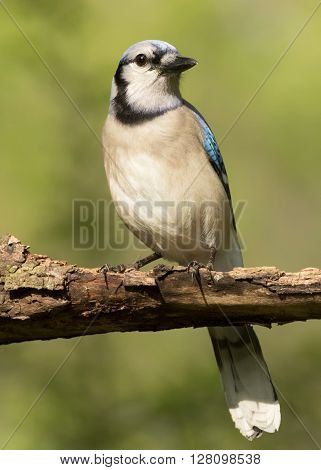 A blue jay perched on a branch