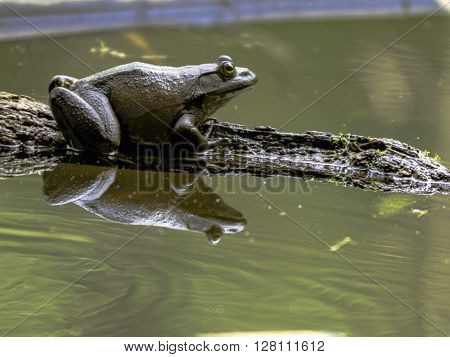 Close up of a bullfrog sitting on a log in a pond