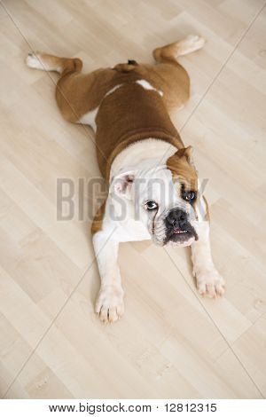 English Bulldog lying outstretched on wood floor looking at viewer.