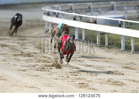 Young Purebred Greyhounds Running On The Race