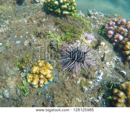 Sea urchin, coral reef animals, fresh corals at the bottom of the sea, sea danger, dangerous animal, needle animal, colorful corals, yellow corals, green corals, sea landscape, oceanic landscape