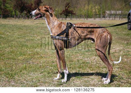 Greyhound Posing For The Camera