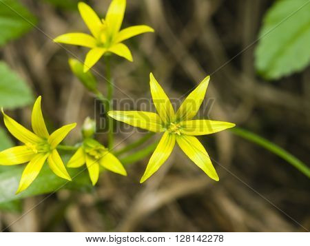 Blooming Yellow Star-of-Bethlehem Gagea lutea closeup selective focus shallow DOF