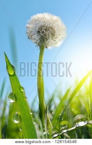 Dewy dandelion flower in grass. Nature background.